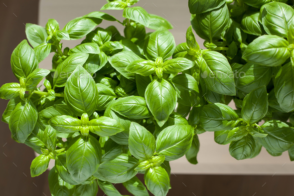 fresh basil herb in flowerpot - Stock Photo - Images