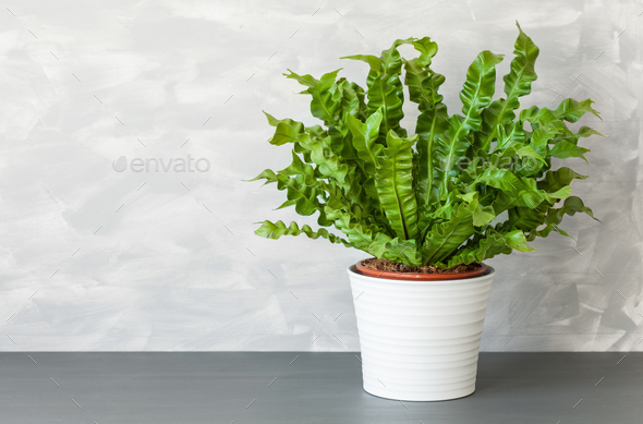 houseplant Asplenium nidus in white pot - Stock Photo - Images