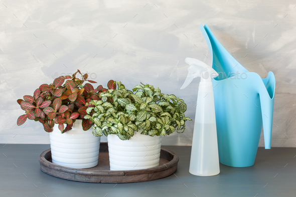 houseplant fittonia albivenis in white flowerpot, watering can - Stock Photo - Images