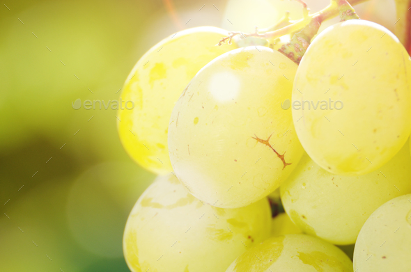 Green grape cluster against sunlight closeup view - Stock Photo - Images