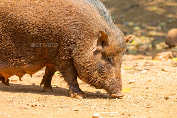 Vietnamese pig - Stock Photo - Images