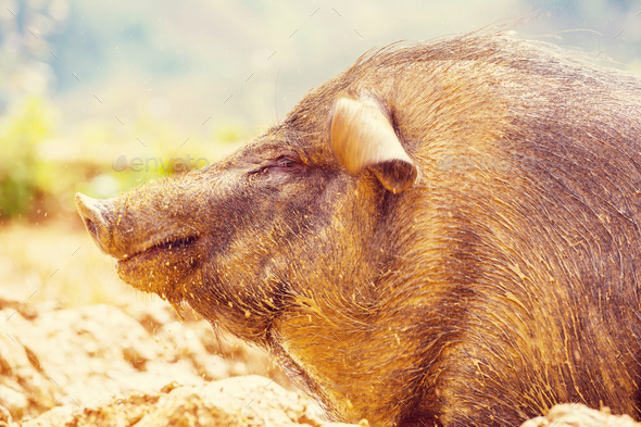 Vietnamese pig - Stock Photo - Images