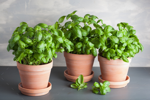 fresh basil herb in terracotta flowerpot - Stock Photo - Images