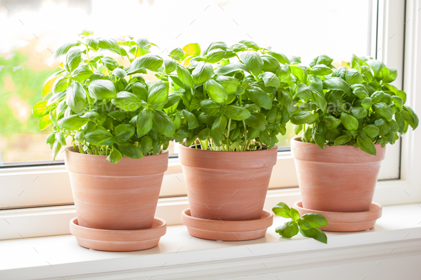 fresh basil herb in terracotta flowerpot - Stock Photo - Images