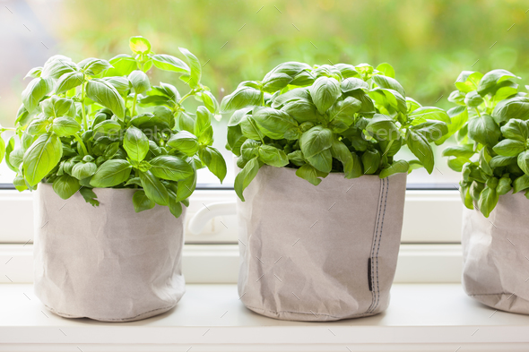 fresh basil herb in paper pot on window - Stock Photo - Images