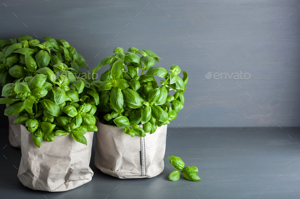 fresh basil herb in paper bag pot - Stock Photo - Images