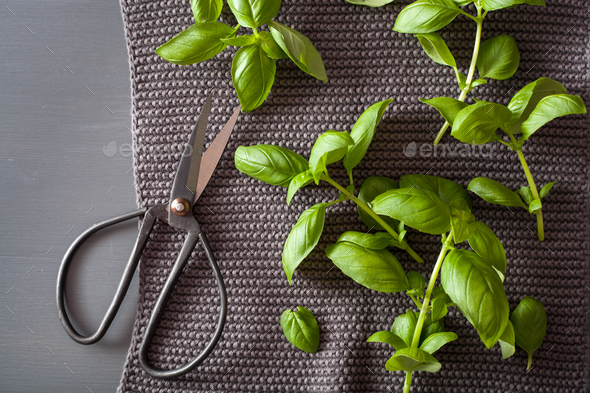 fresh basil herb and scissors - Stock Photo - Images