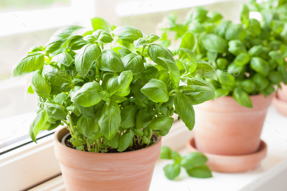 fresh basil herb in pot - Stock Photo - Images