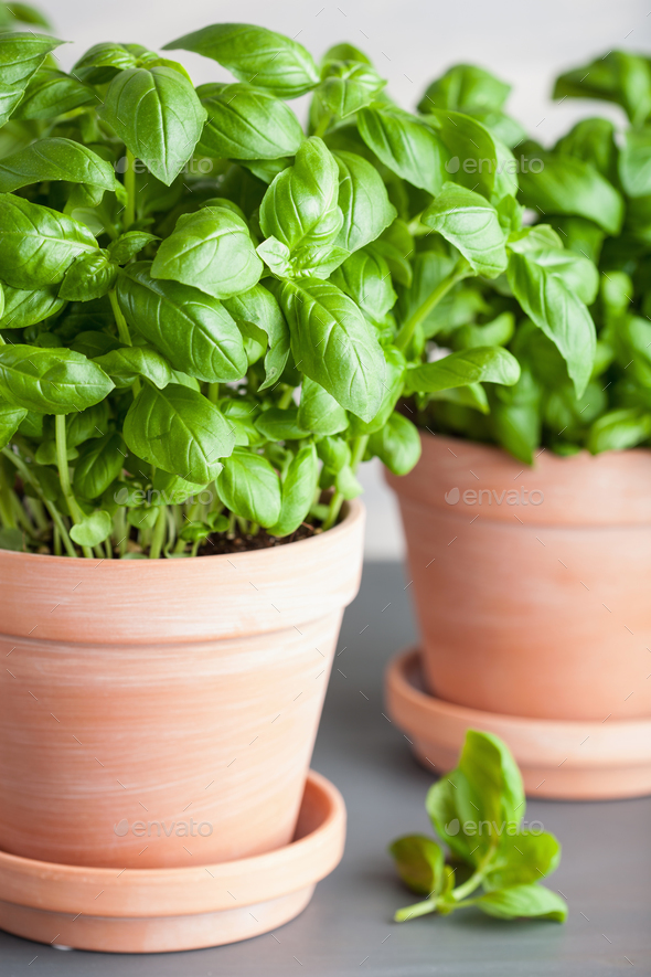 fresh basil herb in paper pot - Stock Photo - Images