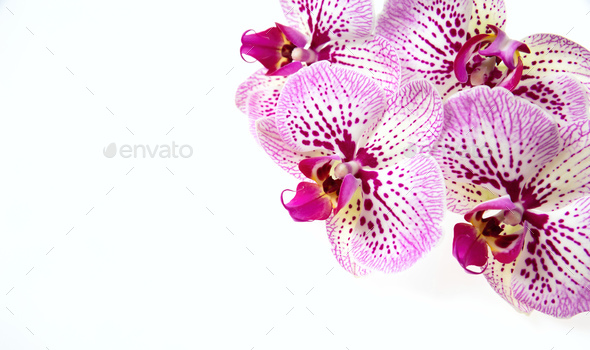 Orchid flowers and green stem isolated on white background - Stock Photo - Images