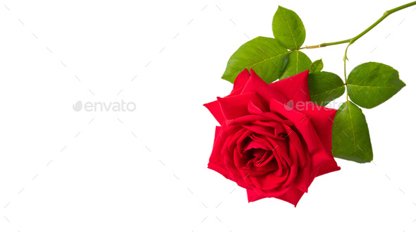 Rose red flower and green leaves isolated copy space on white background - Stock Photo - Images