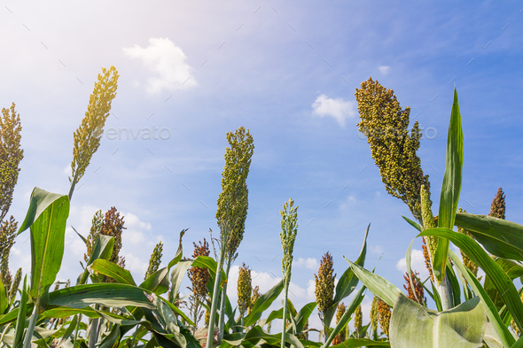 Millet field with blue sky-3. - Stock Photo - Images