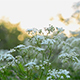 Cow Parsley, Anthriscus sylvestris during sunrise in Sweden - VideoHive Item for Sale