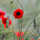 Poppy flowers taking over farmland in Sweden during summer - VideoHive Item for Sale