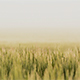 Farmland with Barley, Hordeum vulgar L  during a foggy sunrise - VideoHive Item for Sale