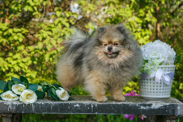 Dog breed Pomeranian  in the garden - Stock Photo - Images