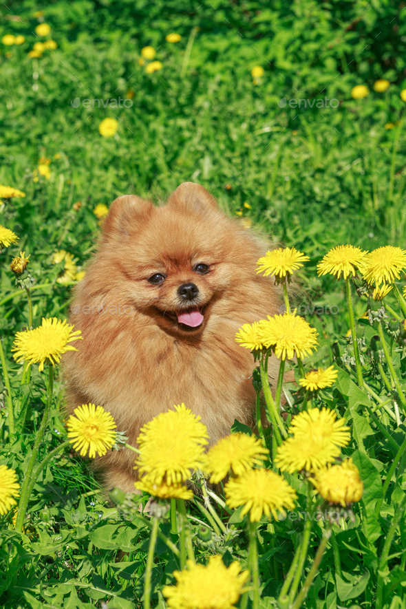 Small dog  walks in the garden - Stock Photo - Images