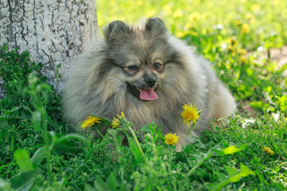 Small dog breed Pomeranian walks - Stock Photo - Images