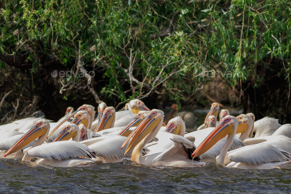 white pelicans in Danube Delta, Romania - Stock Photo - Images