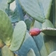 Opuntia a Genus of Cacti Producing a Fruit Known As the Prickly Pear - VideoHive Item for Sale