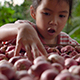Thai girl touch cleaned shallots - VideoHive Item for Sale
