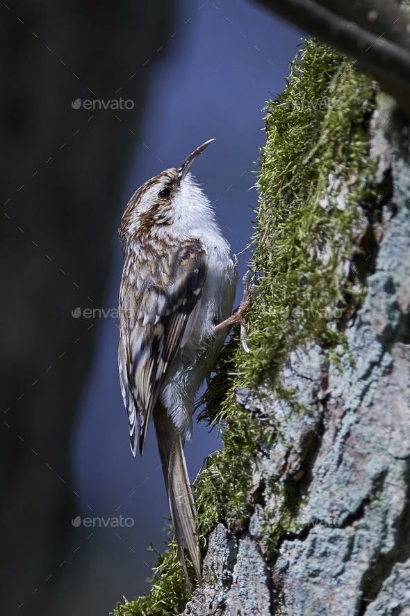 Eurasian treecreeper (Certhia familiaris) - Stock Photo - Images