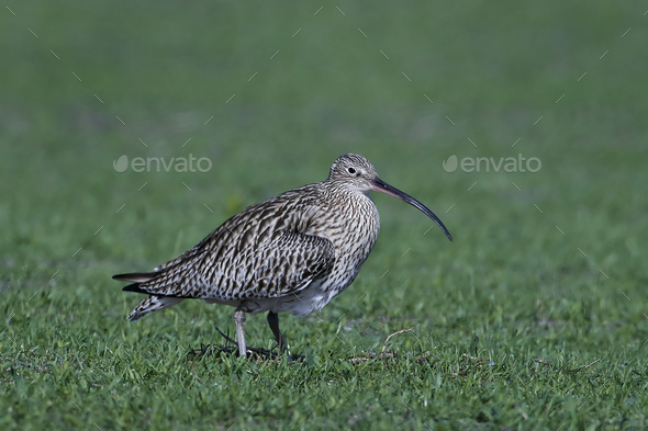 Eurasian curlew (Numenius arquata) - Stock Photo - Images