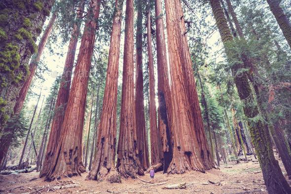 Sequoia - Stock Photo - Images