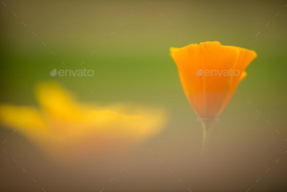 California golden poppy flowers - Stock Photo - Images