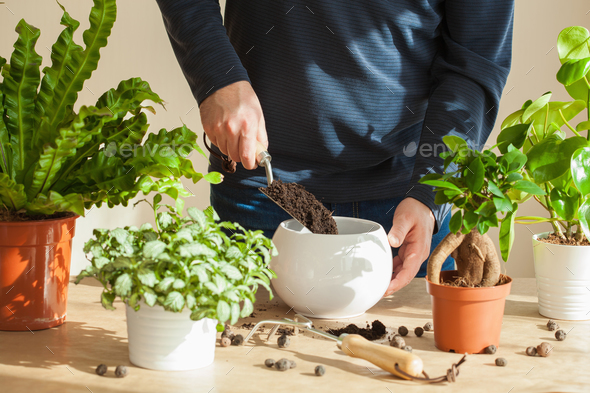 gardening, planting at home. man relocating ficus houseplant - Stock Photo - Images