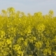 Blooming Canola Field. Agricultural Field on Canola - VideoHive Item for Sale