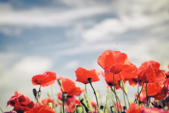 Poppy flowers retro vintage summer background - Stock Photo - Images