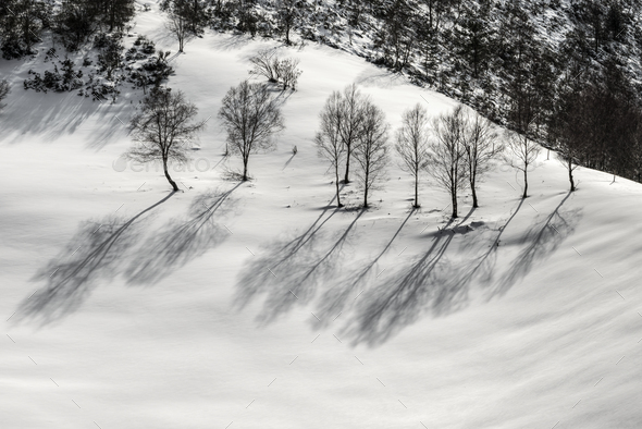 Birches on the snow - Stock Photo - Images