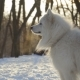 Beautiful Samoyed Dog in Winter Park - VideoHive Item for Sale
