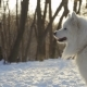 Beautiful White Samoyed Dog in Winter Park - VideoHive Item for Sale