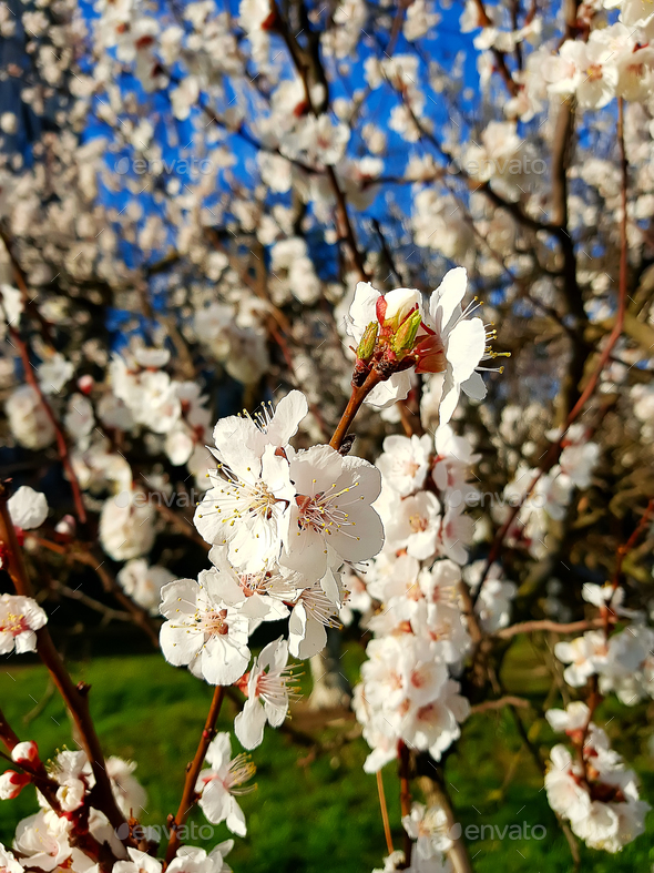 detail three white flowers on a apricot tree - Stock Photo - Images