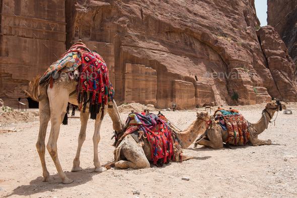 Camels resting in the desert. Petra, Jordan - Stock Photo - Images