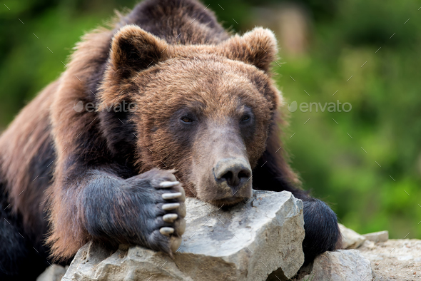 Brown bear (Ursus arctos) portrait in forest - Stock Photo - Images