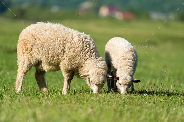 Sheeps in a meadow in the mountains - Stock Photo - Images
