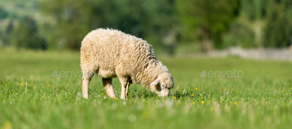 Sheep in a meadow in the mountains - Stock Photo - Images