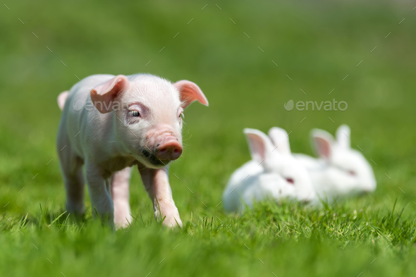 Piglet and white rabbit on spring green grass on a farm - Stock Photo - Images