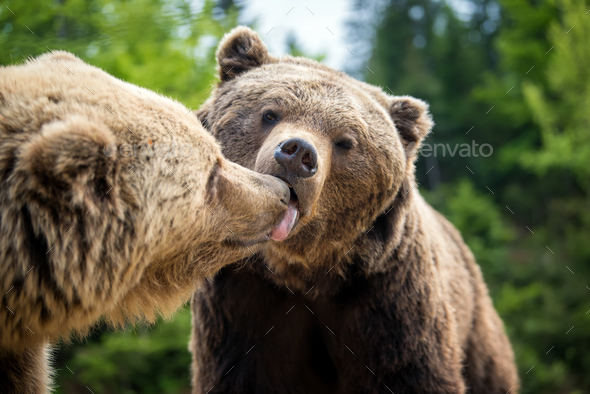 Brown bears in forest, giving a kiss - Stock Photo - Images