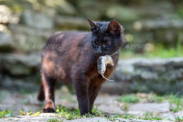 Cat playing with a dead mole - Stock Photo - Images