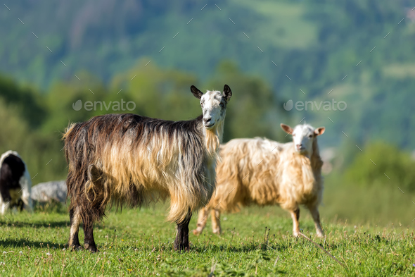 Goat on the green summer meadow - Stock Photo - Images