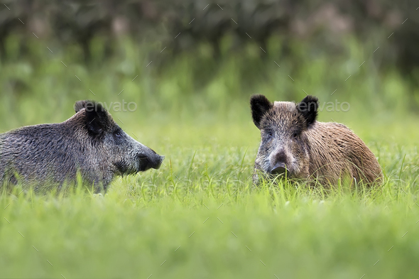 Wild boars in a clearing - Stock Photo - Images
