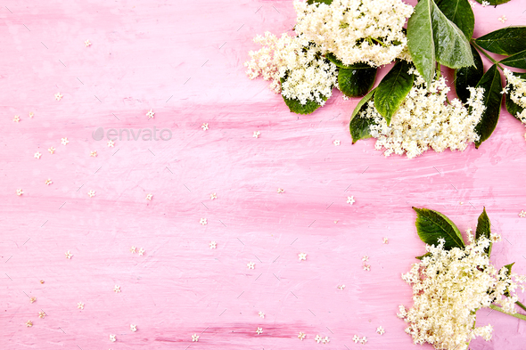 Flower of elder on pink background - Stock Photo - Images