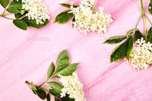 Flower of elder on pink background - Stock Photo - Images