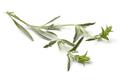 Twig of fresh green ironwort - PhotoDune Item for Sale
