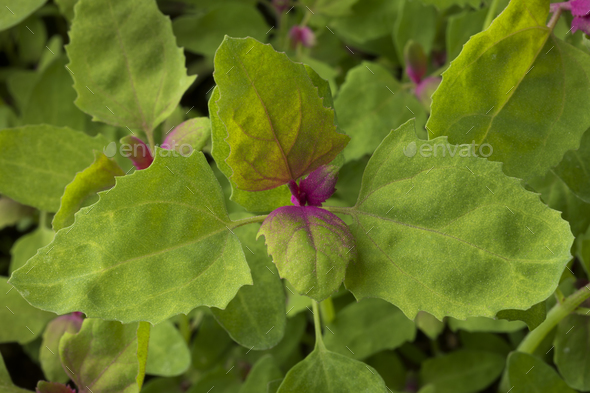 Close up of fresh young raw tree spinach - Stock Photo - Images