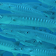 In the Middle of a School of Chevron Barracuda - VideoHive Item for Sale